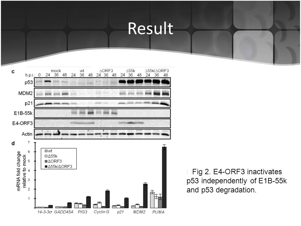 Result ▶Fig 2. E4-ORF3 inactivates p53 independently of E1B-55k