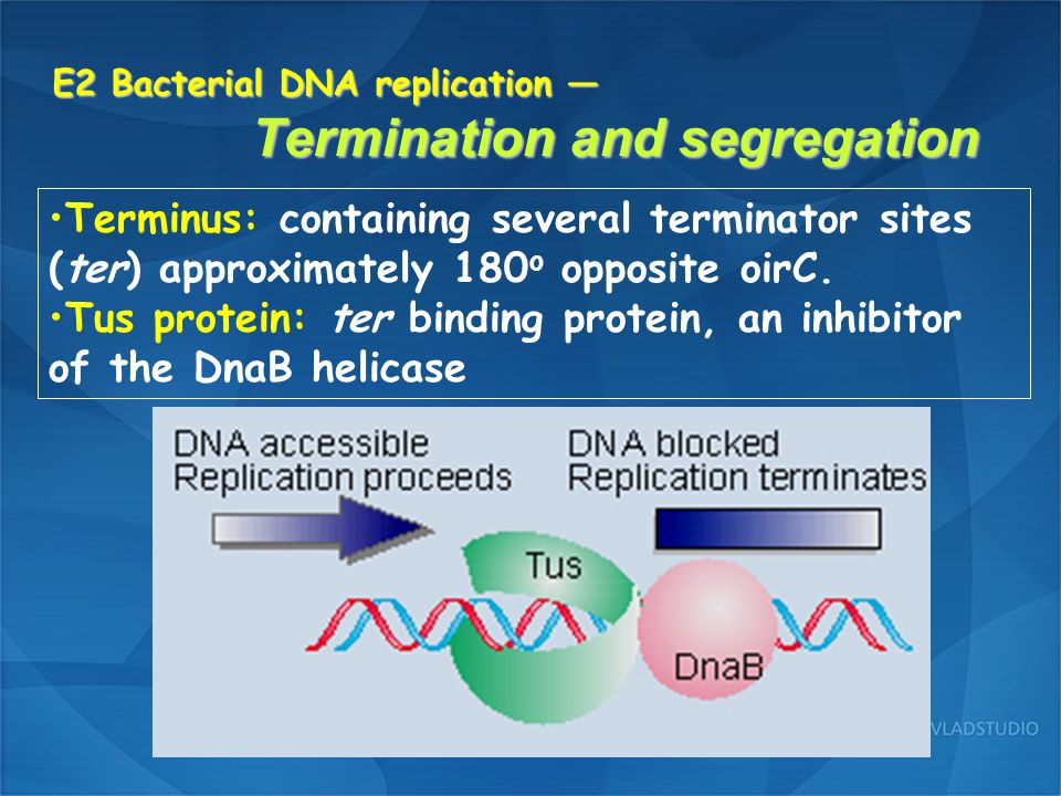 E2 Bacterial DNA replication — Termination and segregation