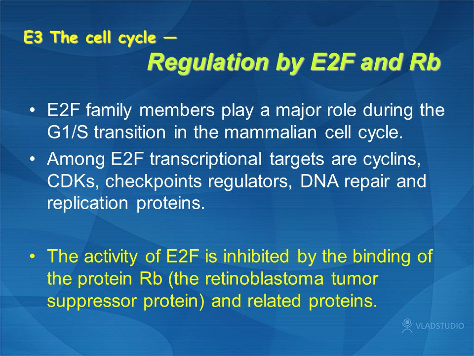 E3 The cell cycle — Regulation by E2F and Rb