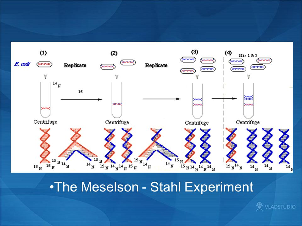 The Meselson - Stahl Experiment