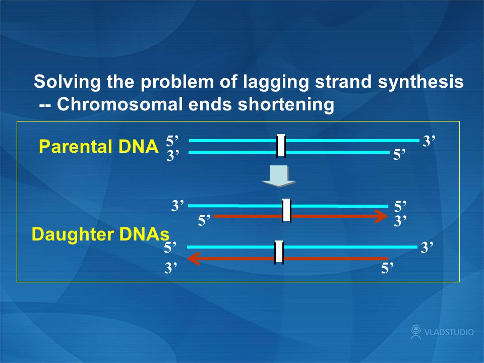 Solving the problem of lagging strand synthesis