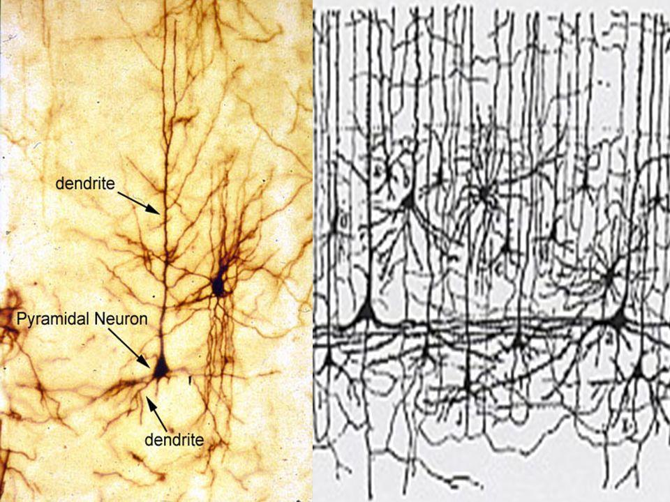 In the brain..
