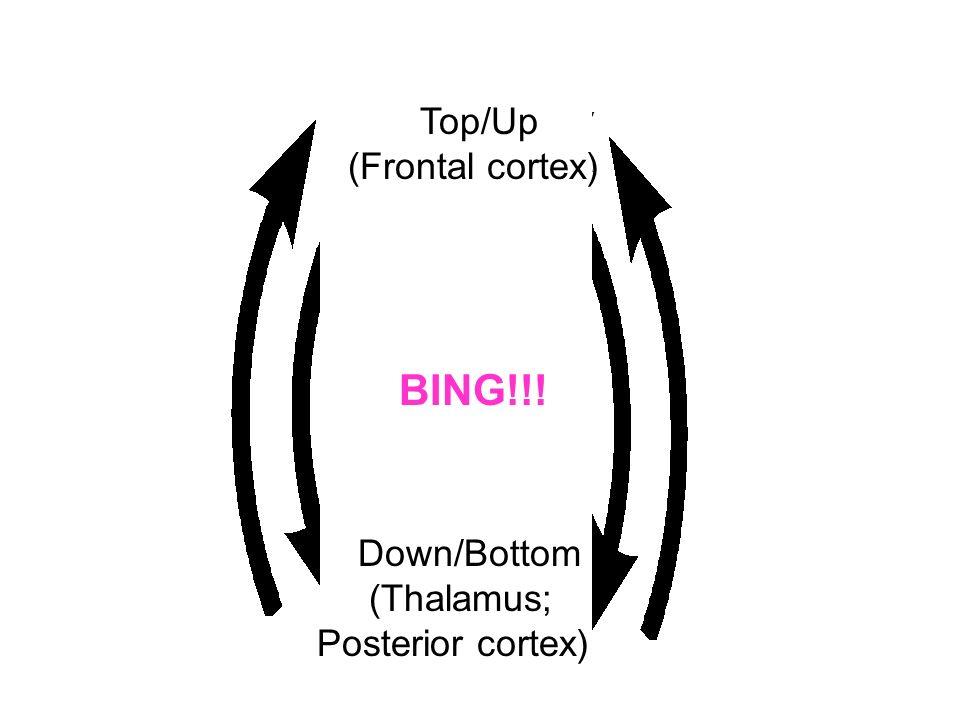 BING!!! Top/Up (Frontal cortex) Down/Bottom (Thalamus;