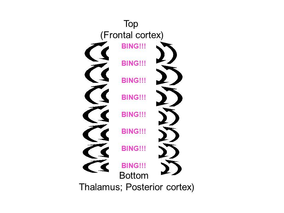 Thalamus; Posterior cortex)