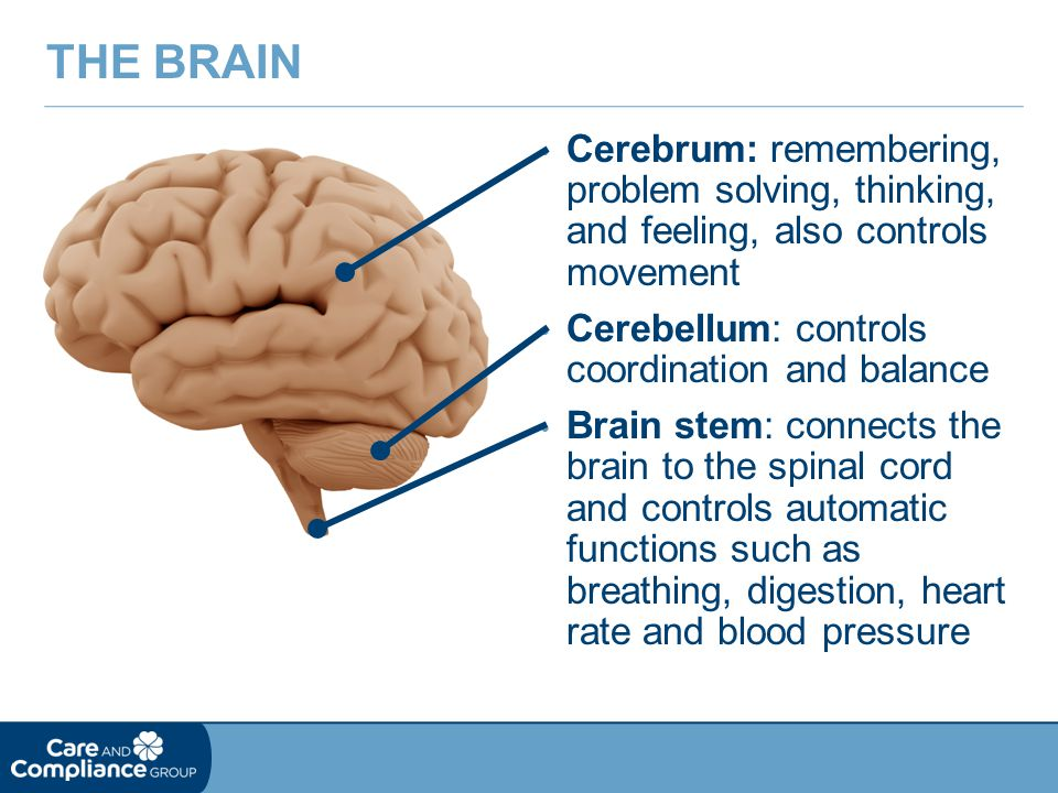 The Brain Cerebrum: remembering, problem solving, thinking, and feeling, also controls movement.