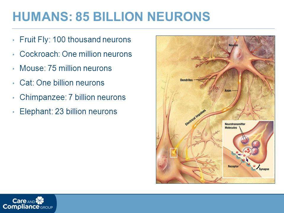 Humans: 85 billion Neurons