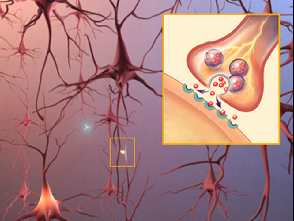 Nerve cells connect to one another at synapses.