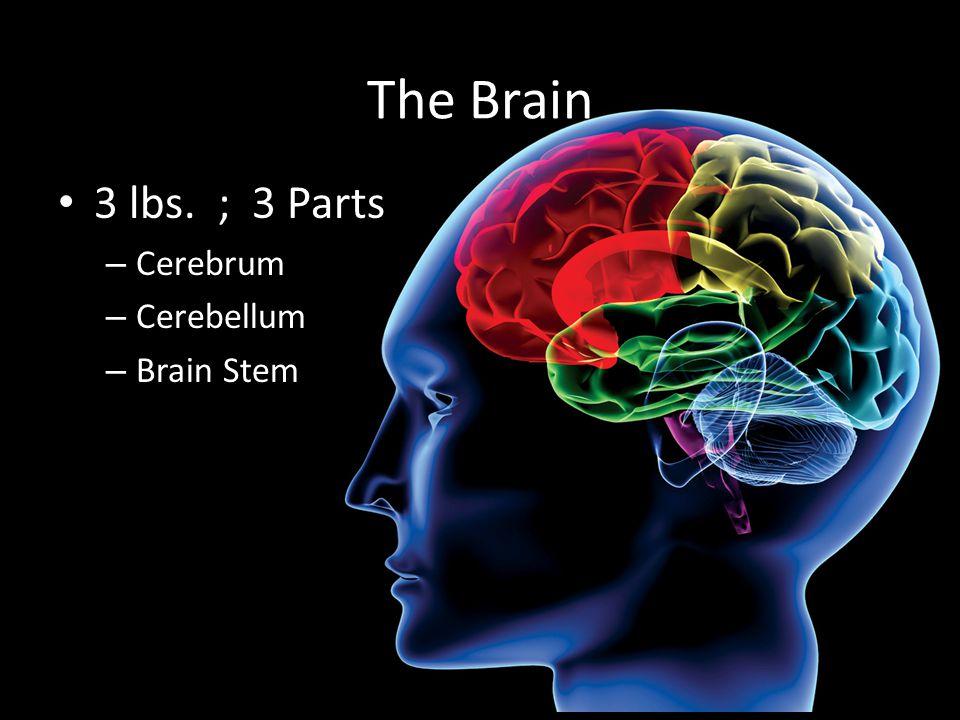 The Brain 3 lbs. ; 3 Parts Cerebrum Cerebellum Brain Stem