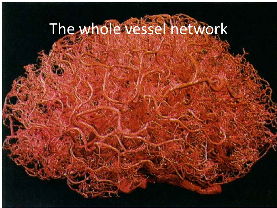 The whole vessel network