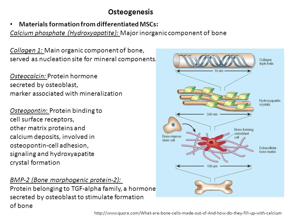 Osteogenesis Materials formation from differentiated MSCs: