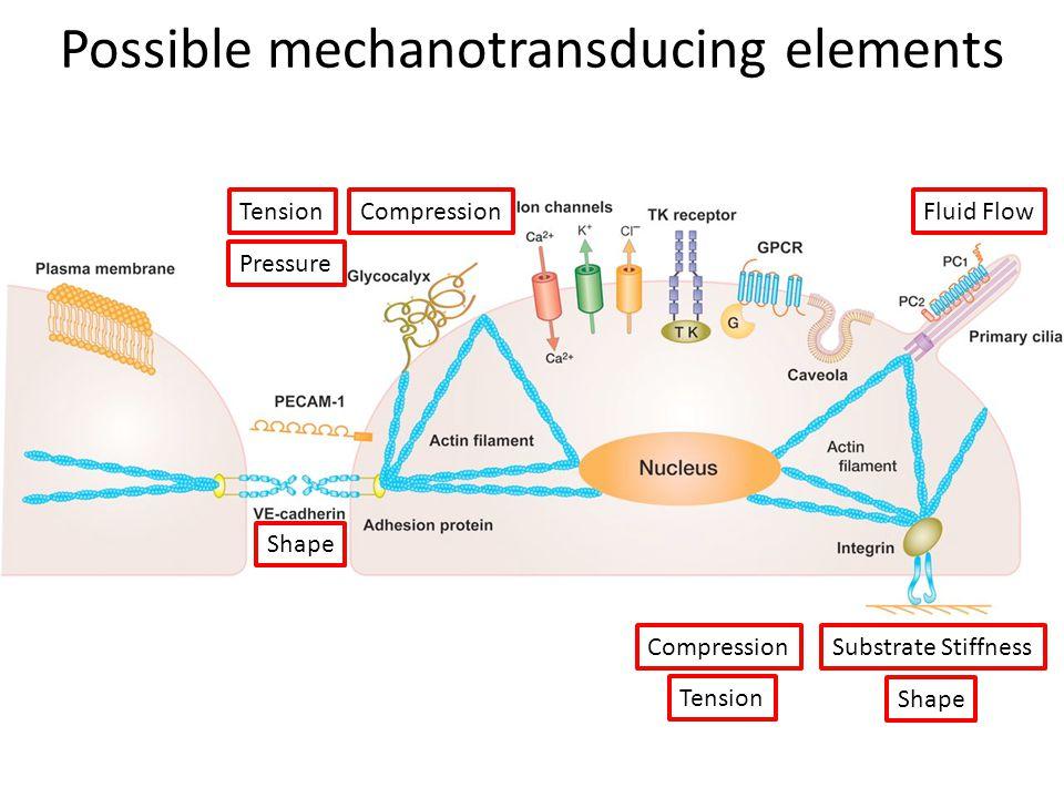 Possible mechanotransducing elements
