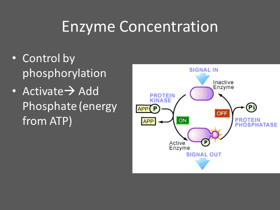 Enzyme Concentration Control by phosphorylation