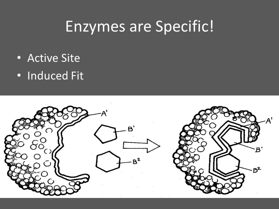 Enzymes are Specific! Active Site Induced Fit
