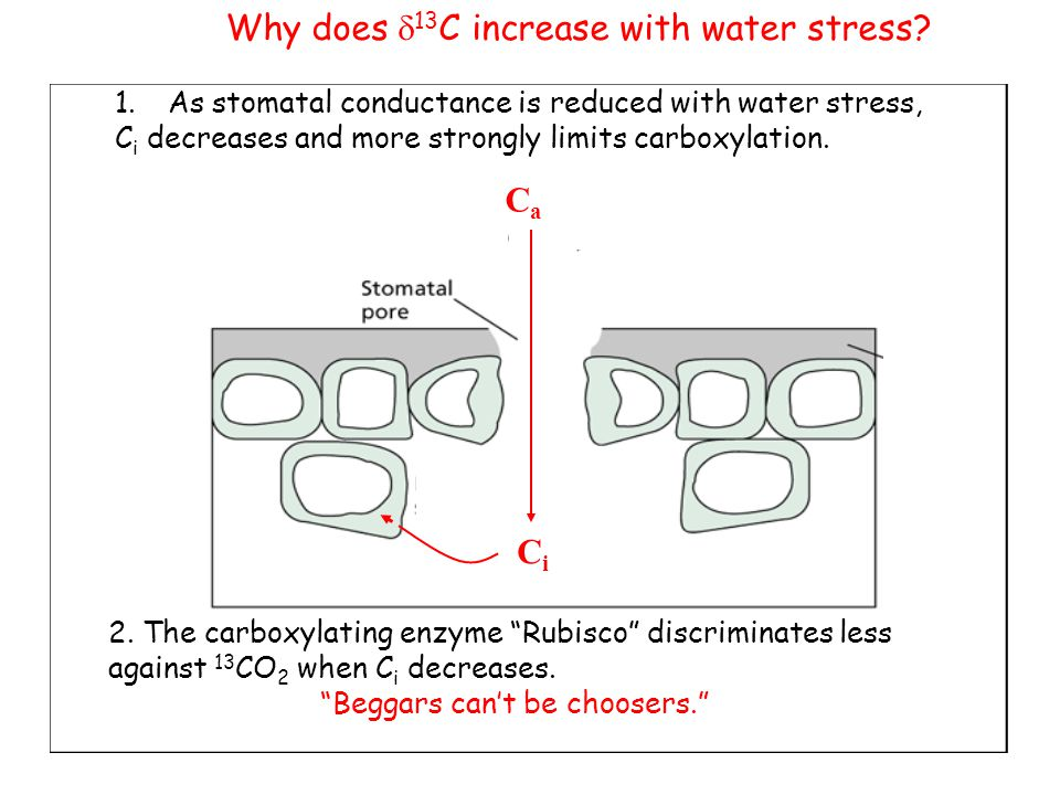 Why does d13C increase with water stress