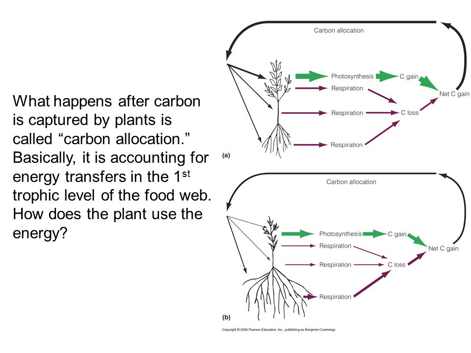 What happens after carbon is captured by plants is called carbon allocation. Basically, it is accounting for energy transfers in the 1st trophic level of the food web. How does the plant use the energy
