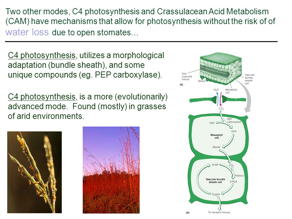 Two other modes, C4 photosynthesis and Crassulacean Acid Metabolism (CAM) have mechanisms that allow for photosynthesis without the risk of of water loss due to open stomates…