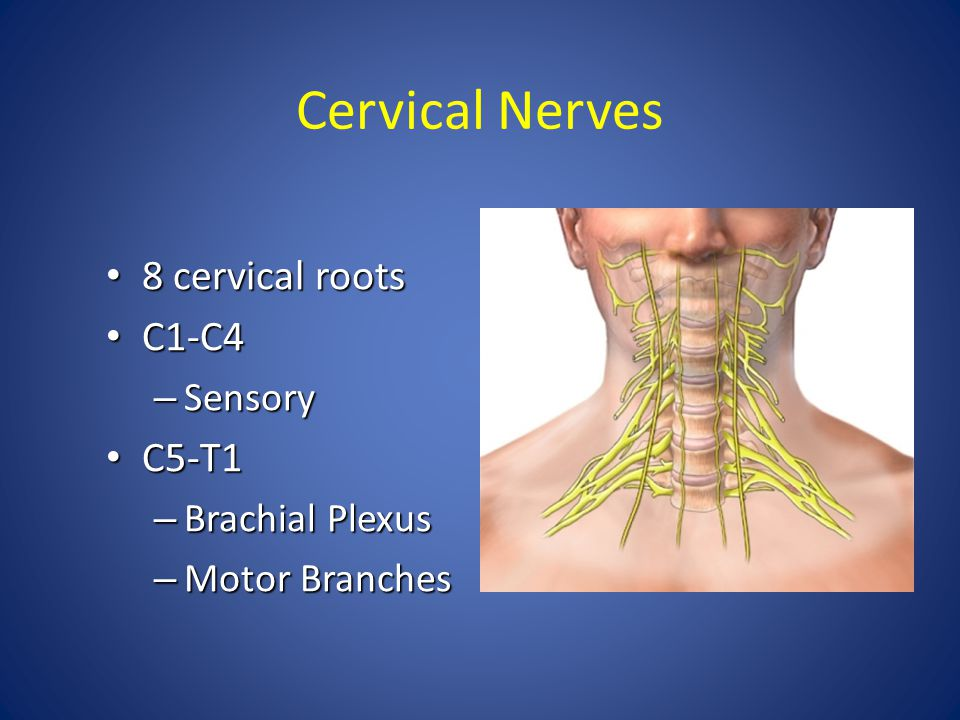 Cervical Nerves 8 cervical roots C1-C4 C5-T1 Sensory Brachial Plexus