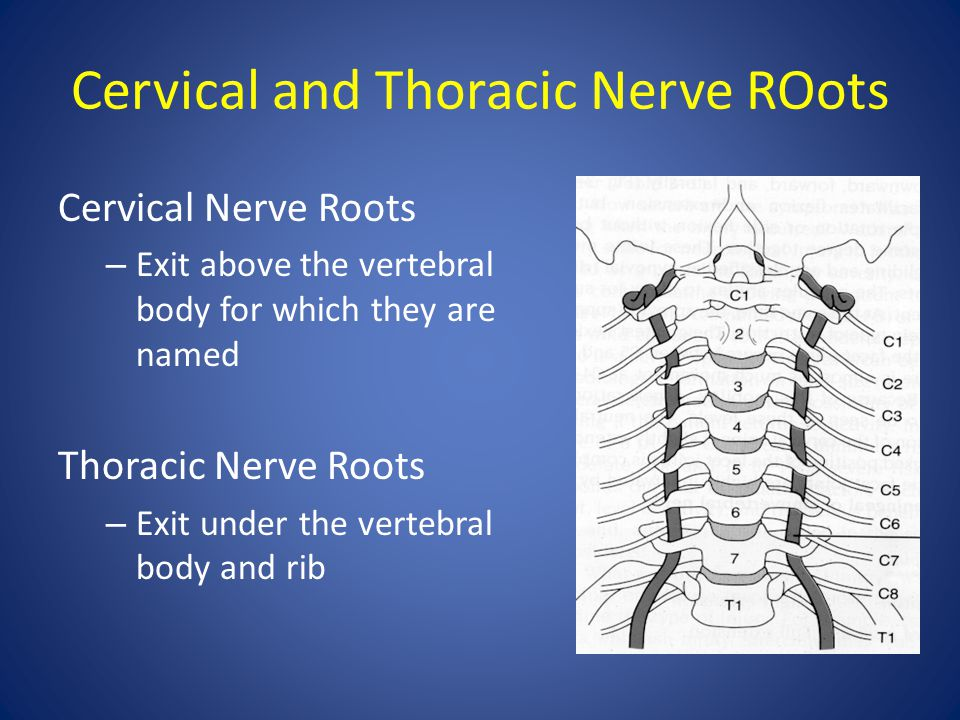 Cervical and Thoracic Nerve ROots