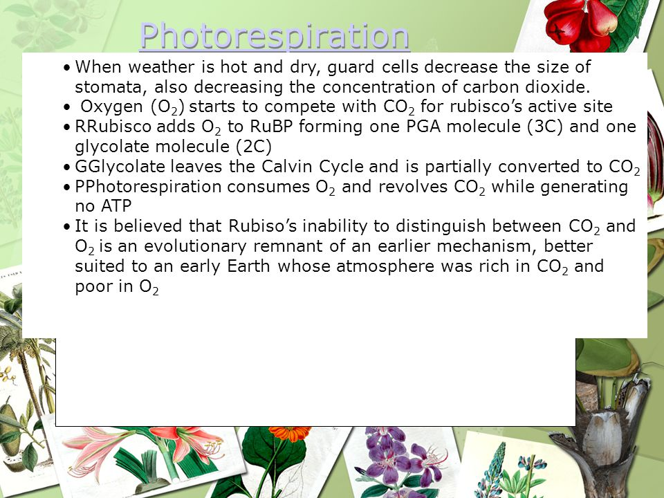 Photorespiration When weather is hot and dry, guard cells decrease the size of stomata, also decreasing the concentration of carbon dioxide.