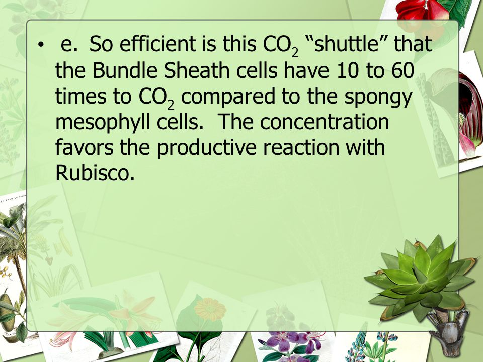 e. So efficient is this CO2 shuttle that the Bundle Sheath cells have 10 to 60 times to CO2 compared to the spongy mesophyll cells.
