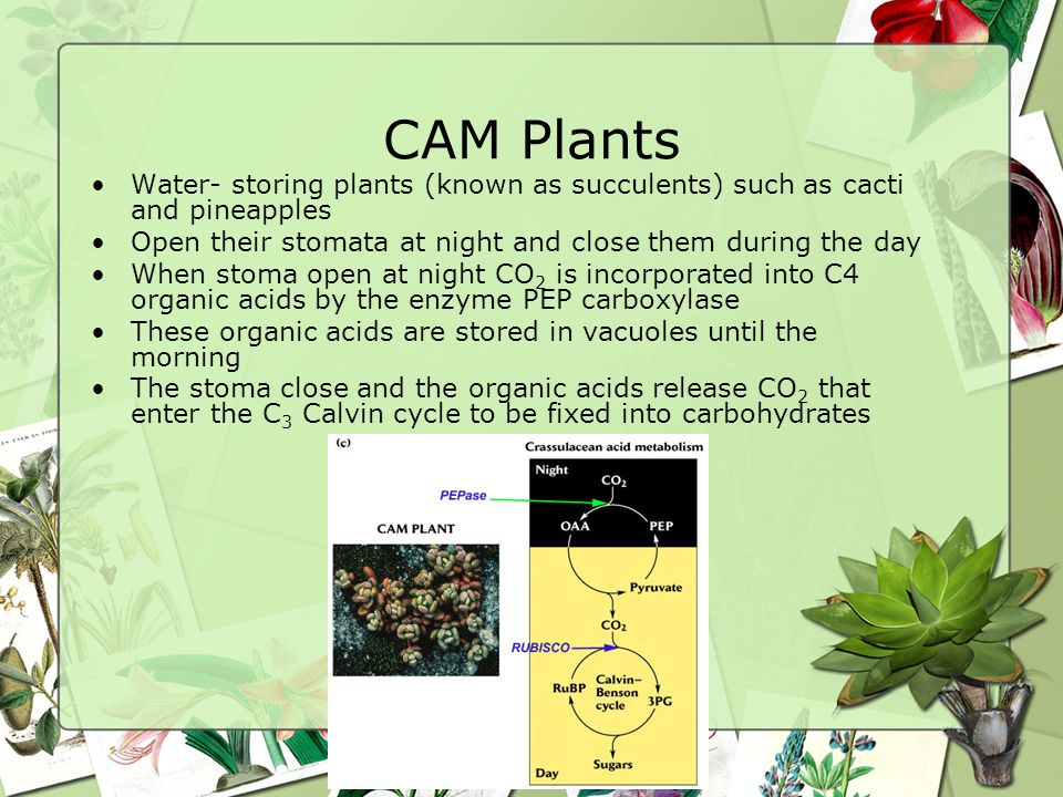 CAM Plants Water- storing plants (known as succulents) such as cacti and pineapples. Open their stomata at night and close them during the day.