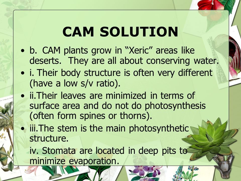 CAM SOLUTION b. CAM plants grow in Xeric areas like deserts. They are all about conserving water.