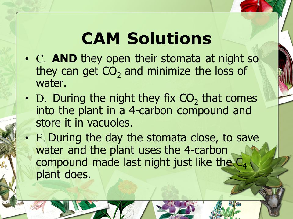 CAM Solutions C. AND they open their stomata at night so they can get CO2 and minimize the loss of water.