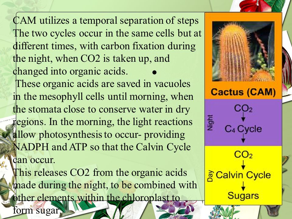CAM utilizes a temporal separation of steps The two cycles occur in the same cells but at different times, with carbon fixation during the night, when CO2 is taken up, and changed into organic acids.