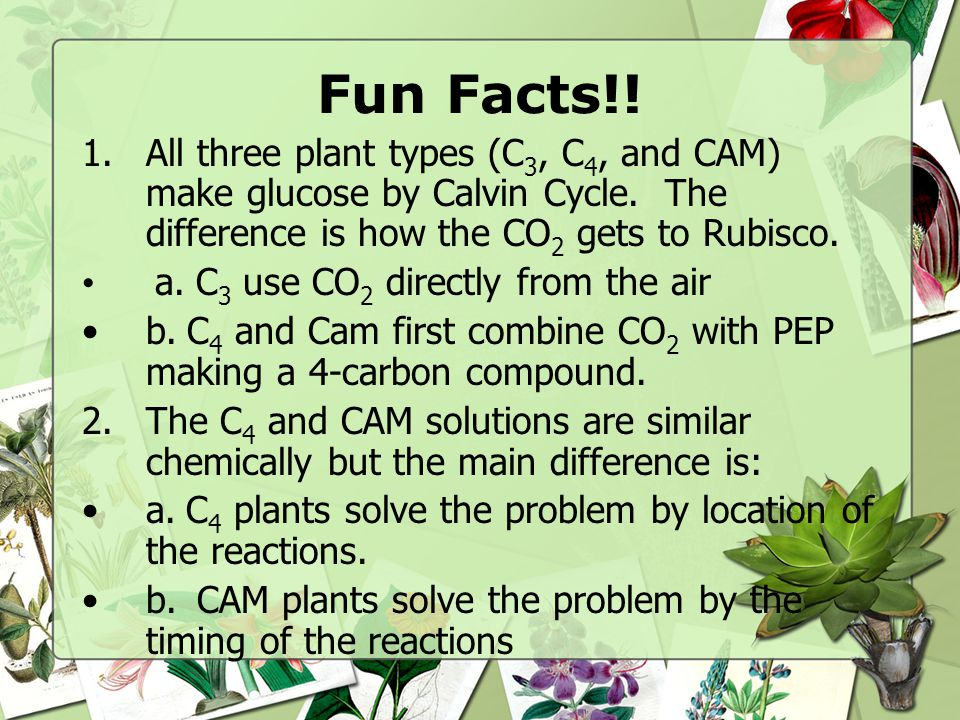 Fun Facts!! All three plant types (C3, C4, and CAM) make glucose by Calvin Cycle. The difference is how the CO2 gets to Rubisco.
