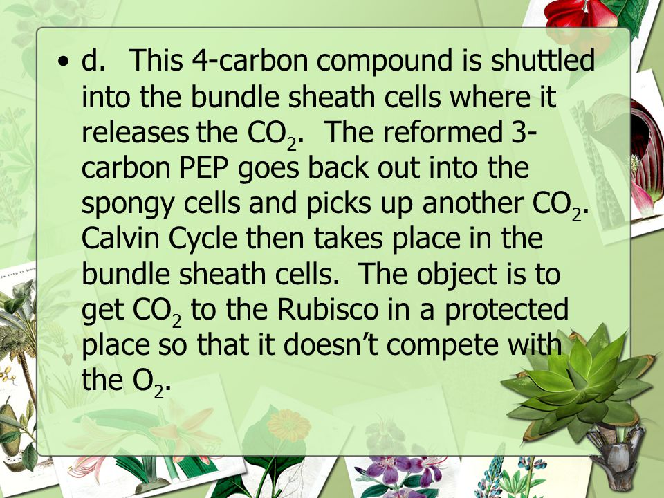 d. This 4-carbon compound is shuttled into the bundle sheath cells where it releases the CO2.