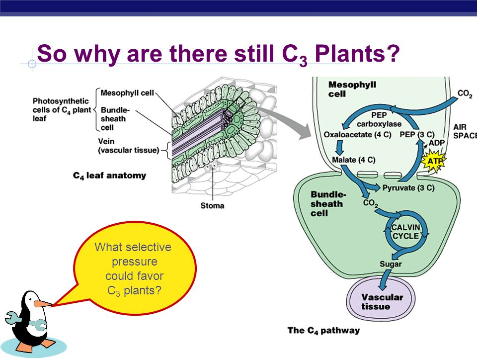 So why are there still C3 Plants