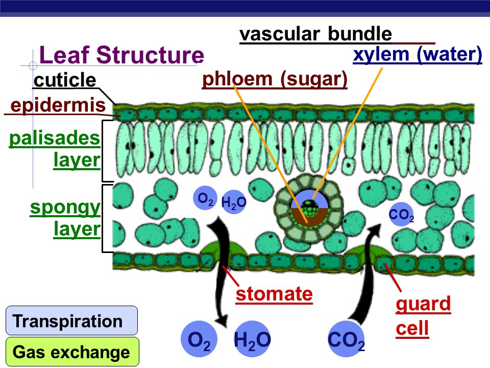 Leaf Structure vascular bundle xylem (water) phloem (sugar) cuticle