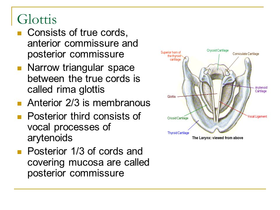 Glottis Consists of true cords, anterior commissure and posterior commissure. Narrow triangular space between the true cords is called rima glottis.