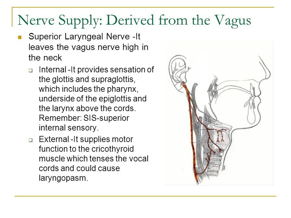 Nerve Supply: Derived from the Vagus