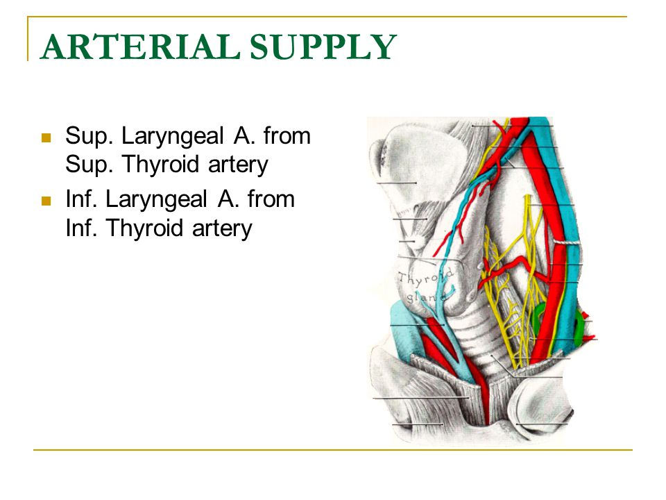 ARTERIAL SUPPLY Sup. Laryngeal A. from Sup. Thyroid artery
