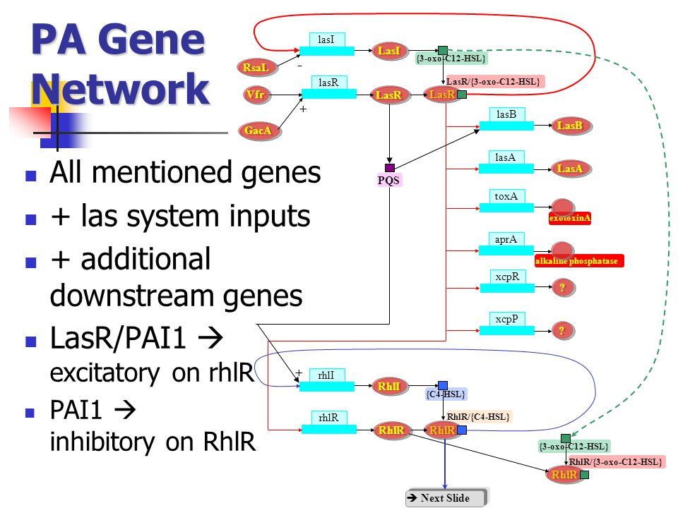 PA Gene Network All mentioned genes + las system inputs