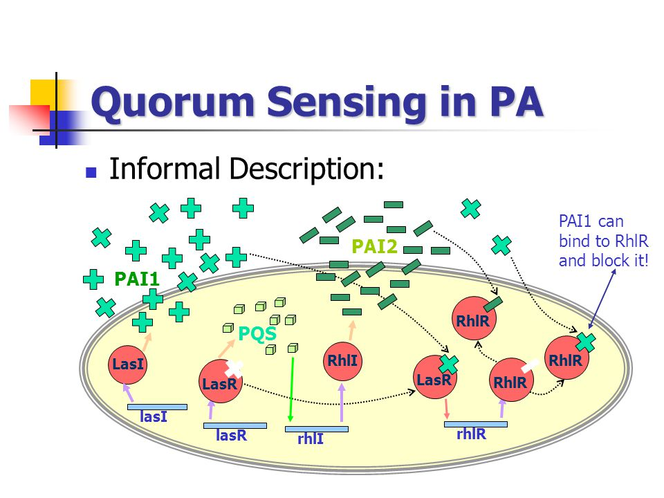 Quorum Sensing in PA Informal Description: PAI2 PAI1 PQS