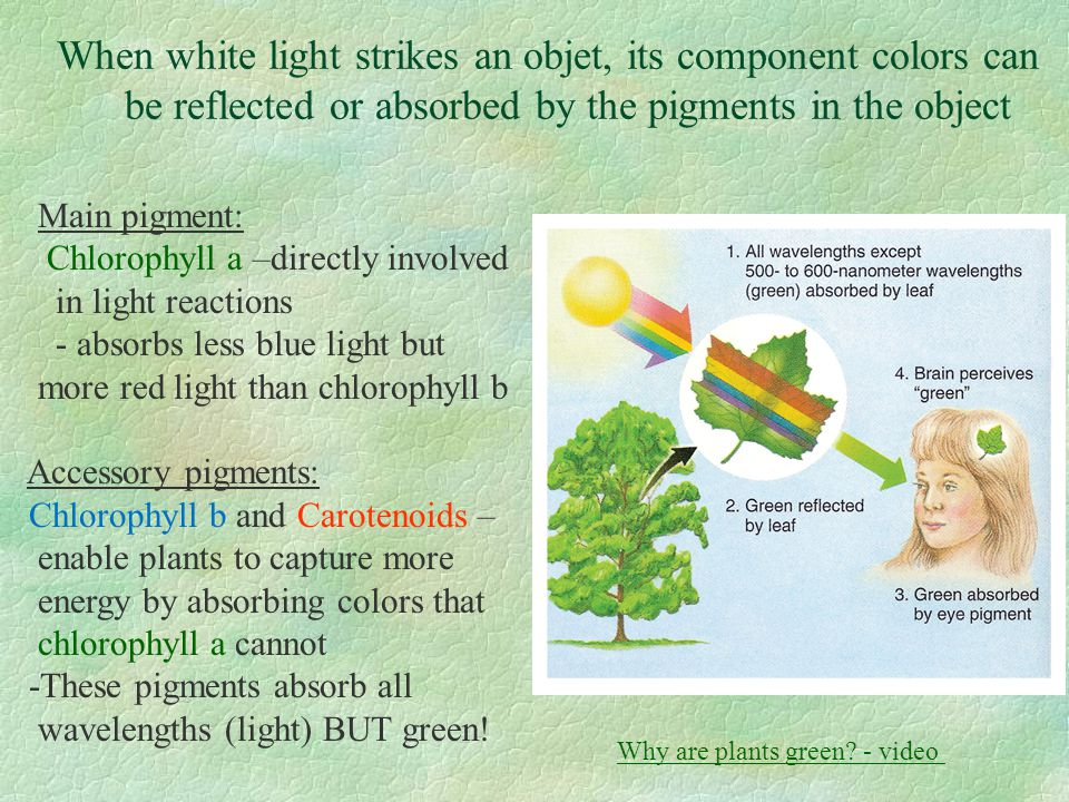 When white light strikes an objet, its component colors can be reflected or absorbed by the pigments in the object