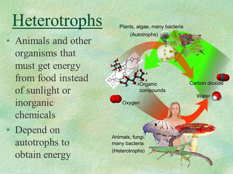 Heterotrophs Animals and other organisms that must get energy from food instead of sunlight or inorganic chemicals.