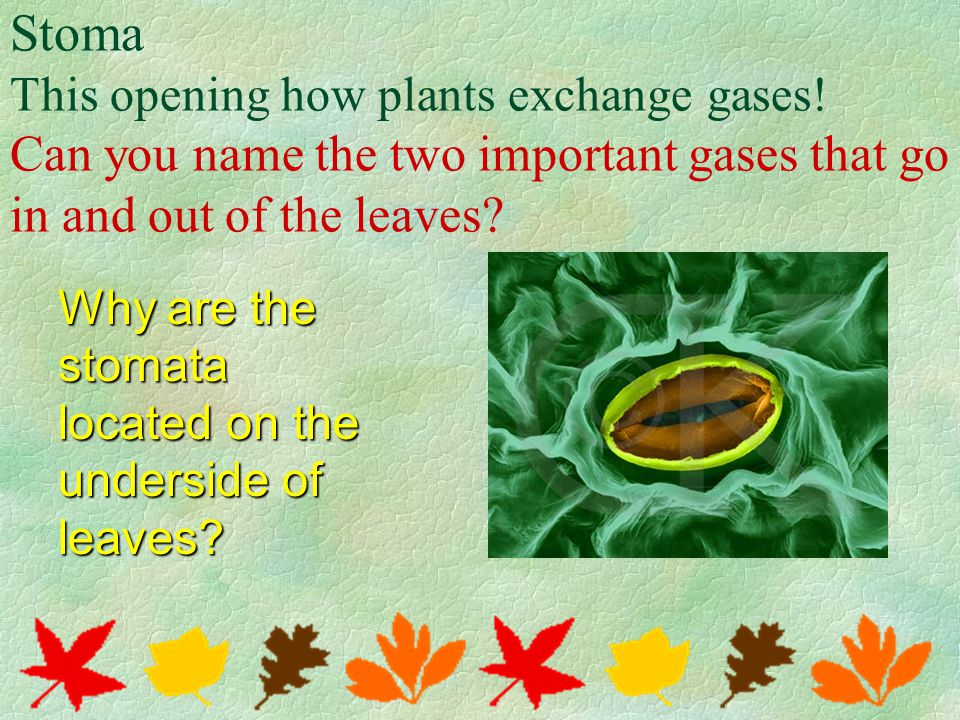 Stoma This opening how plants exchange gases