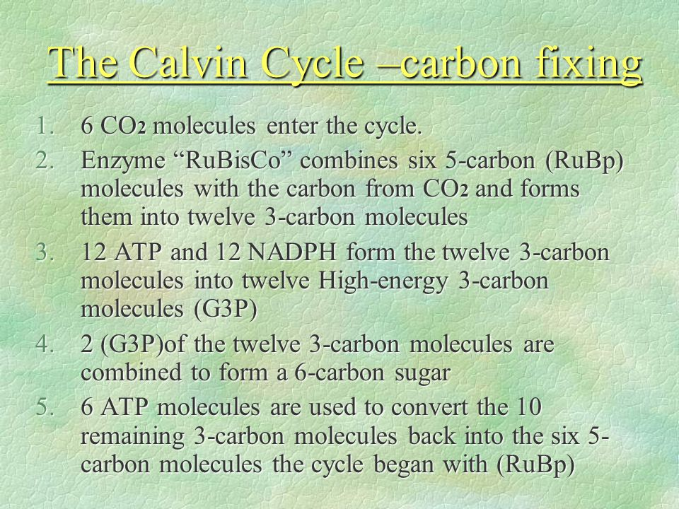 The Calvin Cycle –carbon fixing