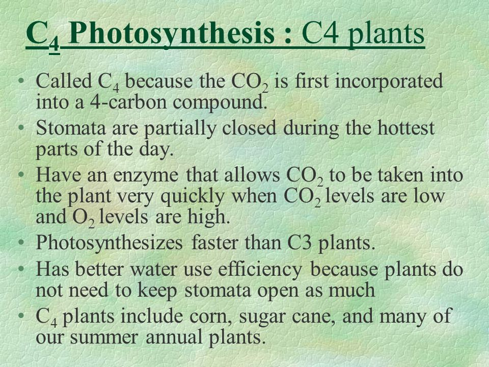 C4 Photosynthesis : C4 plants