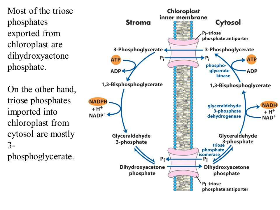 Most of the triose phosphates exported from chloroplast are dihydroxyactone phosphate.