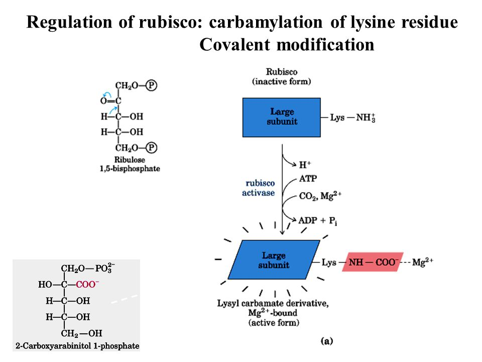 Regulation of rubisco: carbamylation of lysine residue