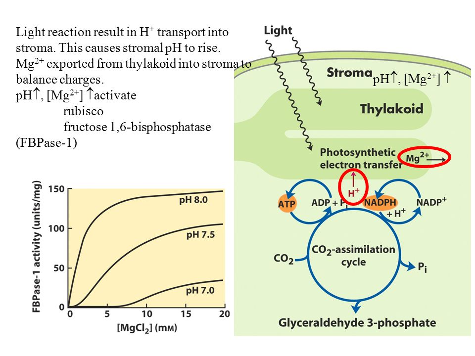 Light reaction result in H+ transport into stroma