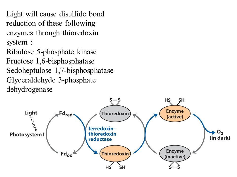 Light will cause disulfide bond reduction of these following enzymes through thioredoxin system :