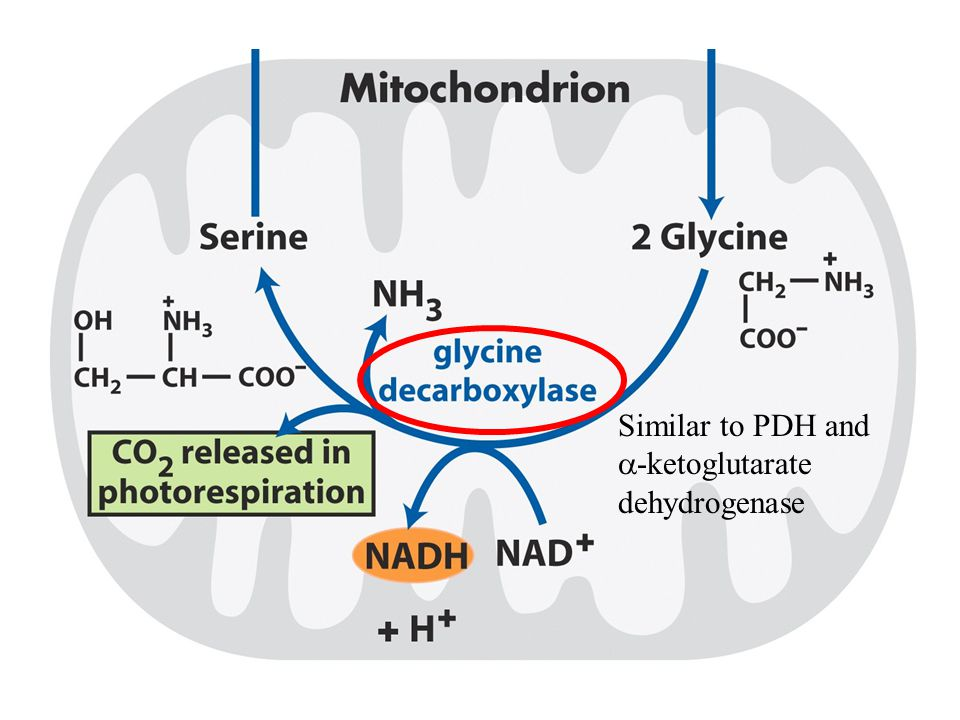 Similar to PDH and a-ketoglutarate dehydrogenase