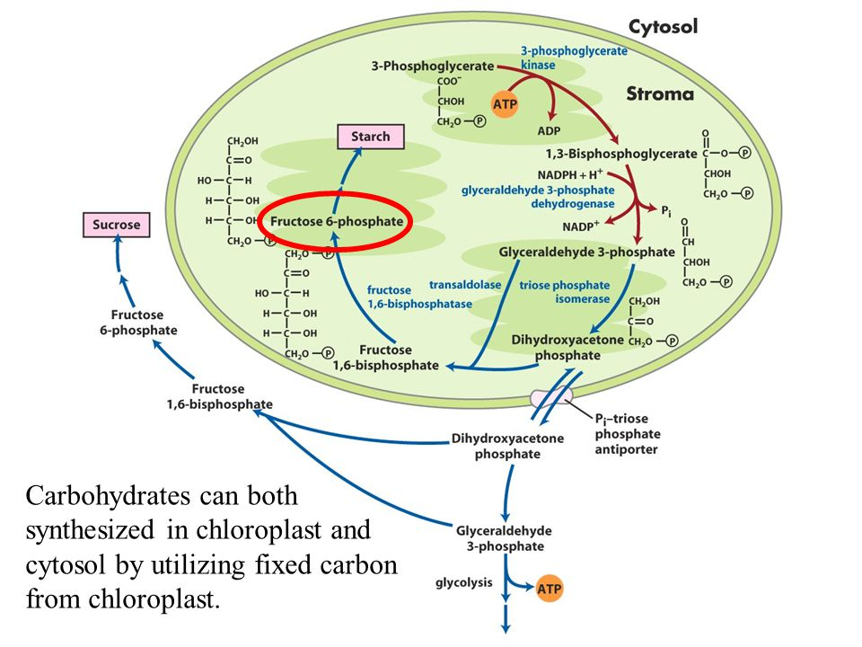 Carbohydrates can both synthesized in chloroplast and cytosol by utilizing fixed carbon from chloroplast.