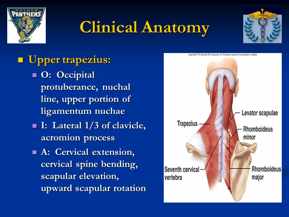 Clinical Anatomy Upper trapezius: