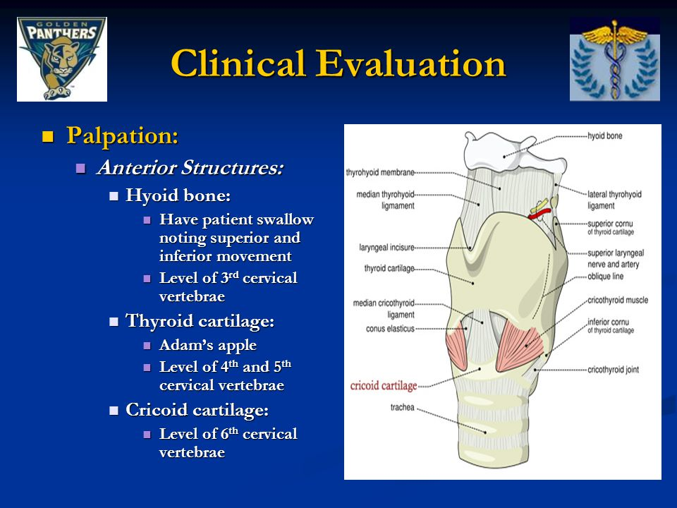 Clinical Evaluation Palpation: Anterior Structures: Hyoid bone: